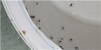 image: Fighting Zika with Bacteria-Laden Mosquitos