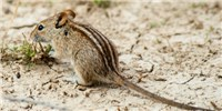 image: How These Rodents Got Their Stripes