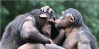 image: Companionship May Help Chimps Chill Out