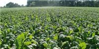 image: Genetic Modification Improves Photosynthetic Efficiency