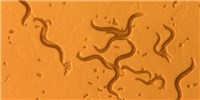 image: New Class of Photoreceptor Discovered in <em>C. elegans</em>