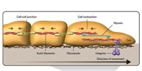 image: Cells Follow Stiffness Gradients by Playing Tug-of-War