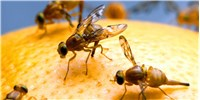 "image: ""Food Coma"" Phenomenon Studied In Fruit Flies"