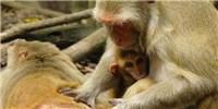 image: Low Social Status May Weaken Immune System in Monkeys