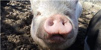 image: Superbug Gene Found on Pig Farm
