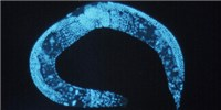 image: Controlled Splicing Extends Life Span in Roundworms