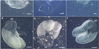 image: Image of Day: Long Lost Larvacean