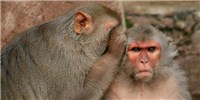 image: Why Can't Macaques Talk Like Humans?