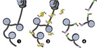 image: New Technique Enables Observation of Accessible Chromatin