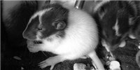 image: Study: Rat Moms' Diets Affect Offspring Obesity Risk
