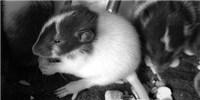image: Study: Rat Moms' Diets Affect Offspring Obesity Risk