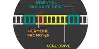 image: Infographic: Using Gene Drive to Control Malaria