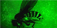 image: RNA Pathway Helps Keep Flies Alive