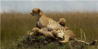 image: Cheetah Range Drops 90 Percent