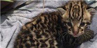 image: Image of the Day: Waiting for Ocelots