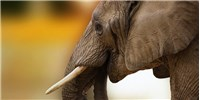 image: China Vows to End Commercial Ivory Trade
