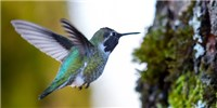 image: How Hummingbirds Sense Movement While Hovering