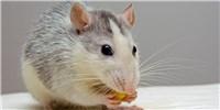 image: Enhancing Stem Cells Helps Regenerate Damaged Teeth in Mice
