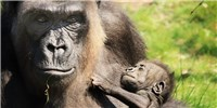 image: How Mammalian Moms and Babies Choose Sides