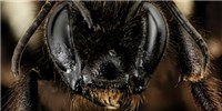 image: First Bumblebee Species Declared Endangered in U.S.