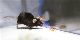 Scientists Activate Predatory Instinct in Mice