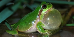 How Traffic Noise Affects Tree Frogs