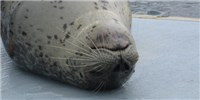 image: Seal Whiskers Can Detect Weak Water Currents