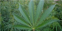 image: Marijuana Research Still Stymied by Federal Laws
