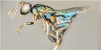 image: Study: One Wasp Takes Control of Another