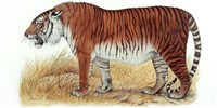 image: Tigers May Get a Second Chance in Central Asia