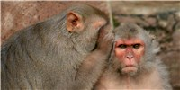 image: Study: Male Contraceptive Prevents Pregnancy in Monkeys