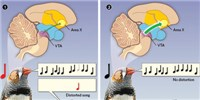 image: Neural Activity Reflects a Bird's Perception of How Well It Sings