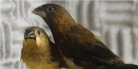 image: Birds Possess an Innate Vocal Signature Based on Silent Gaps