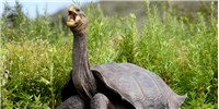 image: Image of the Day: Return of the Giant Tortoise