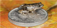 image: Image of the Day: Pocket Frogs