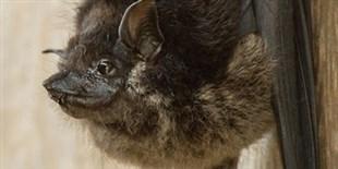Bats Sing Sort of Like Birds