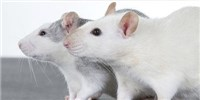 image: Researchers Study Rodent Songs They Can't Hear