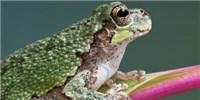 image: Untangling the Social Webs in Frog Choruses