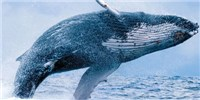 image: The Mystery of Whale Song