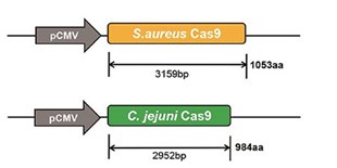 Smallest Cas9 Ortholog Reported
