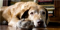 image: Opinion: Canine Models for Alzheimer's