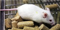 image: Human Gut Microbe Transplant Alters Mouse Behavior