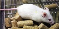 image: Human Gut Microbe Transplant Alters Mouse Behavior