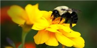 image: Bumblebees Detect One Another's Smelly Footprints