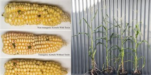Toward Removing a Toxin from Corn