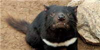 image: Tasmanian Devil Cancer Immunotherapy