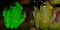 image: Scientists Discover First Fluorescent Frog