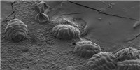image: Unstructured Proteins Help Tardigrades Survive Desiccation