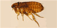 image: Cases of Murine Typhus Increasing in Texas