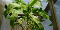 image: Record-Setting Corn Grows 45 Feet Tall